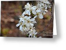 Wild Plum Blooms Greeting Card