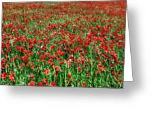 Wild Poppies Growing In A Field, South Greeting Card