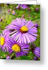 Wild Purple Asters Greeting Card