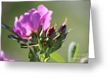 Wild Rose Greeting Card