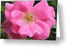 Wild Rose Square Greeting Card