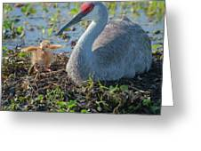 Wild Sandhill Crane Feeding First Colt Greeting Card