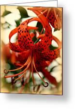 Wild Smokies Lily Greeting Card
