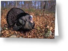 Wild Turkey Displaying Greeting Card by Len Rue Jr