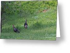 Wild Turkeys In Grass  In Kansas Greeting Card