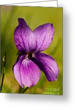 Wild Violet Greeting Card