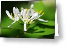 White Honeysuckle Flowers Greeting Card