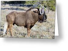 Wildebeest Greeting Card