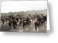 Wildebeest Migration  Greeting Card