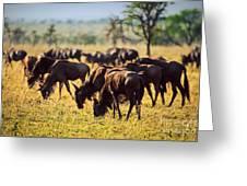 Wildebeests Herd. Gnu On African Savanna Greeting Card