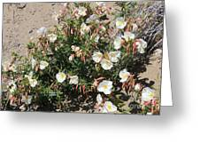Wildflowers - Desert Primrose Greeting Card