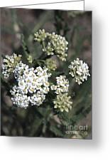 Wildflowers - White Yarrow Greeting Card