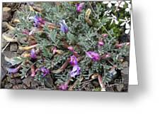 Wildflowers - Woolly-pod Locoweed Greeting Card