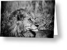 Wildlife Lion Greeting Card