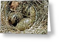 Willet Catoptrophorus Semipalmatus Eggs Greeting Card