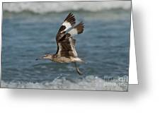 Willet In Flight Showing Wing Molt Greeting Card