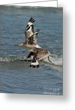 Willets In Flight Showing Molt Greeting Card