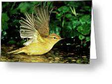 Willow Warbler Phylloscopus Trochilus Greeting Card