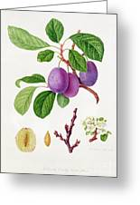 Wilmot's Early Violet Plum Greeting Card by William Hooker