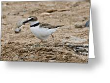 Wilsons Plover At Nest Greeting Card