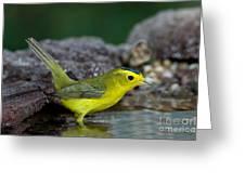 Wilsons Warbler Wilsonia Pusilla Greeting Card