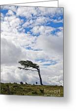 Wind-bent Flag Tree In Tierra Del Fuego Greeting Card