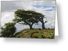 Wind-bent Trees In Tierra Del Fuego Greeting Card