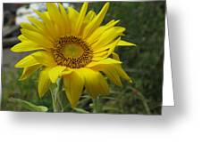 Windblown Sunflower Two Greeting Card