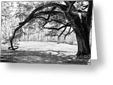 Window Oak - Bw Greeting Card