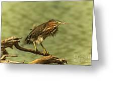 Windy Morn Green Heron Greeting Card