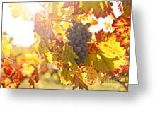 Wine Grapes In The Sun Greeting Card