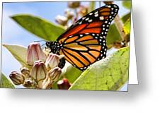 Wings Up Monarch Butterfly By Diana Sainz Greeting Card