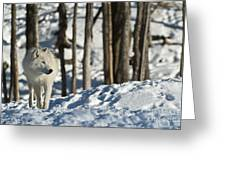 Winter Arctic Wolf Greeting Card