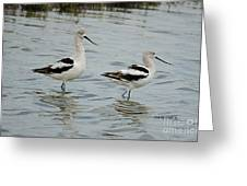 Winter Avocets Greeting Card