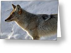 Winter Coyote In Yellowstone Greeting Card