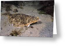 Winter Flounder Greeting Card