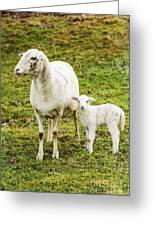 Winter Lamb And Ewe Greeting Card