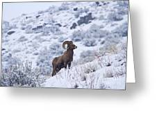 Winter Ram Greeting Card