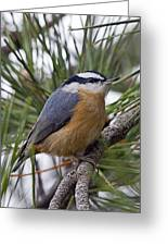 Winter Visitor - Red Breasted Nuthatch Greeting Card