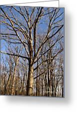 Winter White Oak Greeting Card