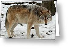 Winter Wolf In The Snow Greeting Card