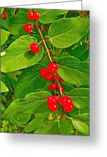 Winterberry Along Rivier Du Nord Trail In The Laurentians-qc Greeting Card