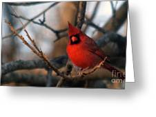Northern Cardinal Red Beauty  Greeting Card