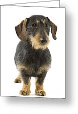 Wire-haired Dachshund Greeting Card