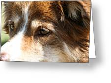Wise Old Collie Eyes Greeting Card