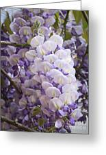 Wisteria Blooms Greeting Card
