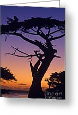 Witch Tree Monterey California Greeting Card