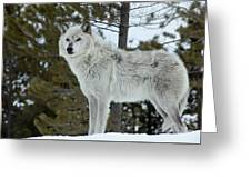 Wolf - Curiousity Greeting Card