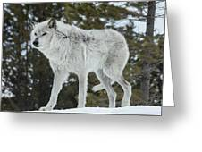 Wolf - Discovery Greeting Card
