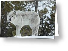 Wolf - Nervous Greeting Card
